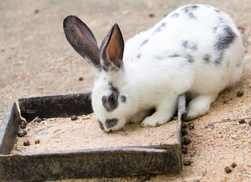 在农场的兔子,野营 库存照片
