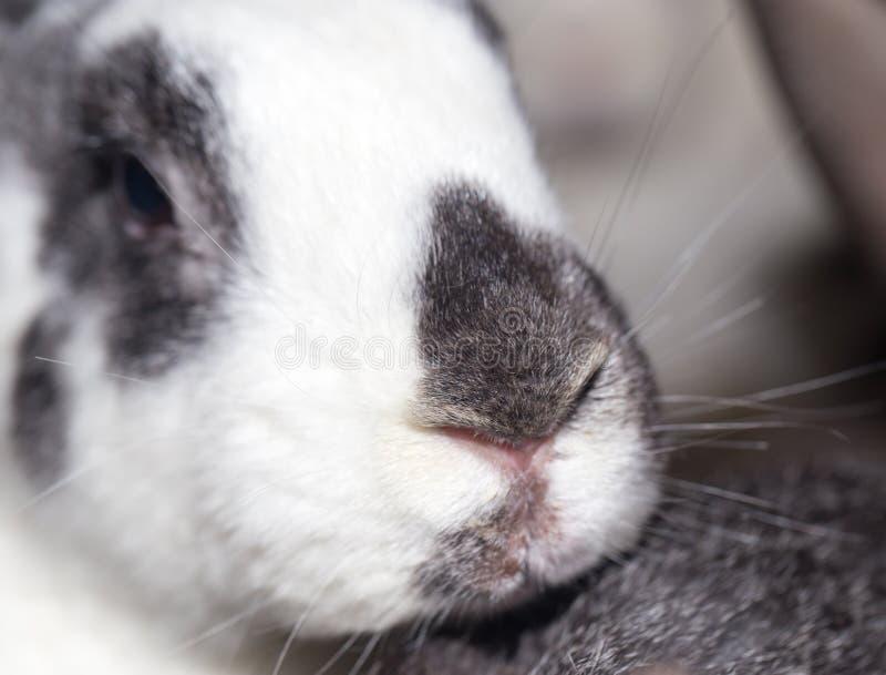 在农场的兔子 库存照片