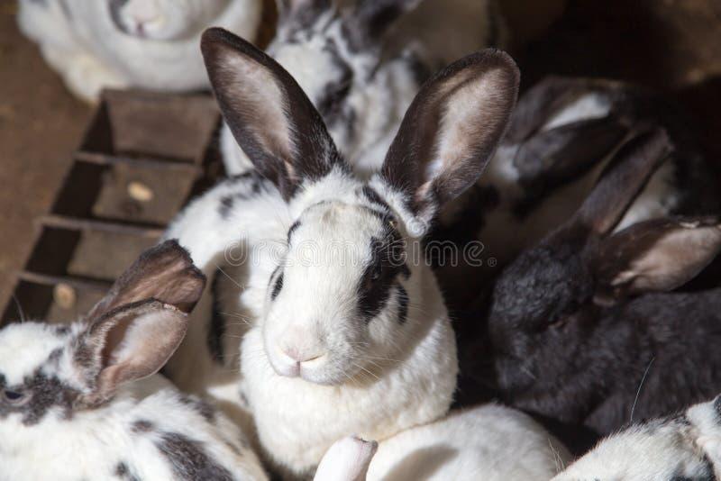在农场的兔子 库存图片
