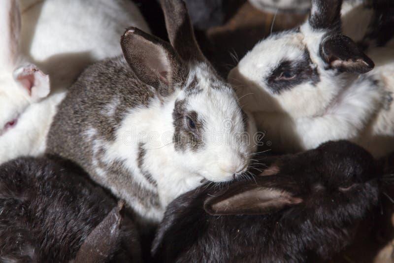 在农场的兔子 图库摄影