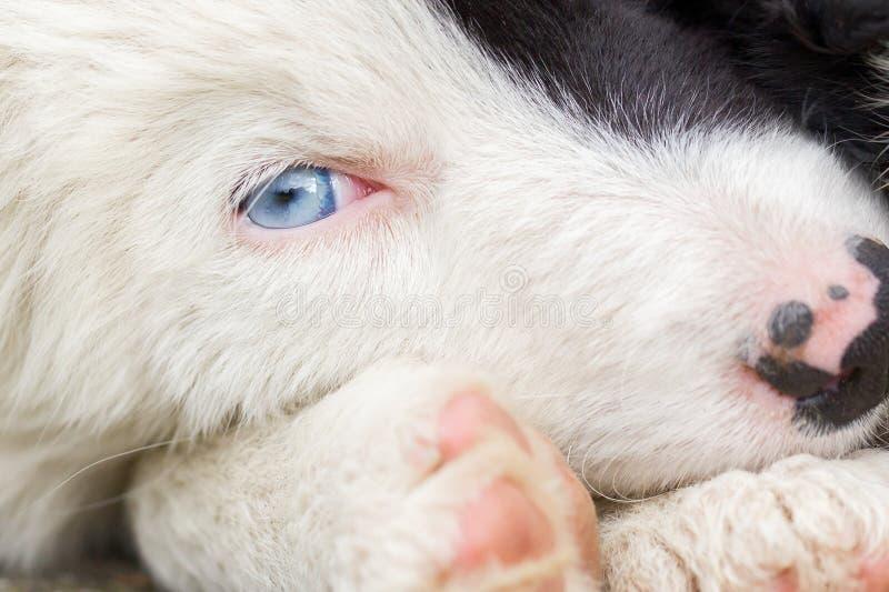 在农场的博德牧羊犬小狗 免版税库存照片