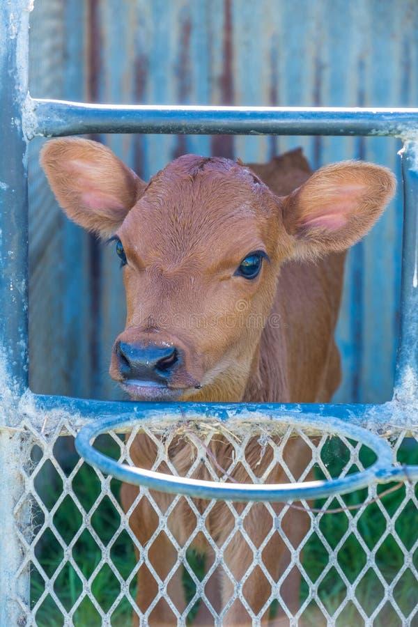 在农场的奶牛 免版税库存照片