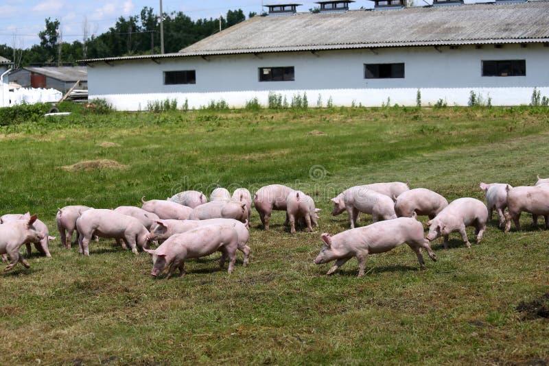 在农场的小猪 小的小猪家庭 可爱的宠物 库存照片