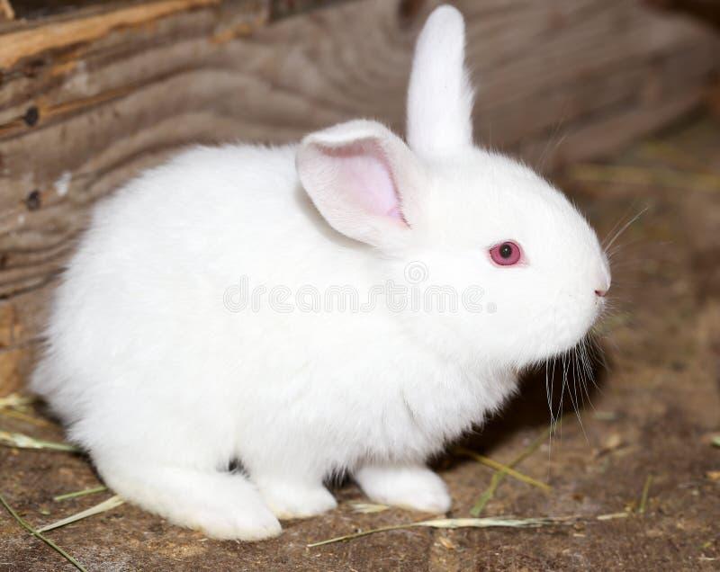 在农场的小的白色兔子 免版税库存图片