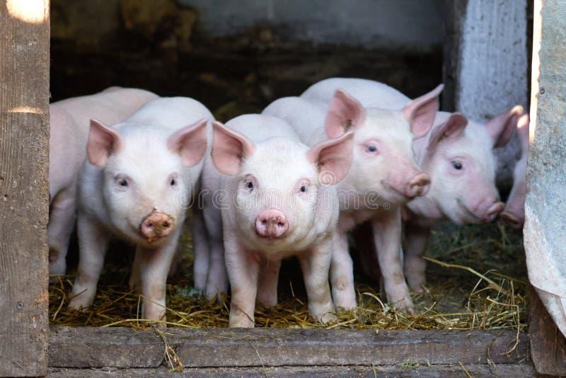 在农场的小的逗人喜爱的猪 库存图片