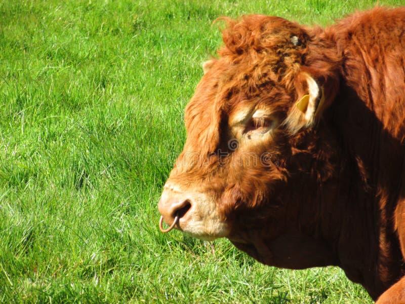 在农场的新的公牛 图库摄影
