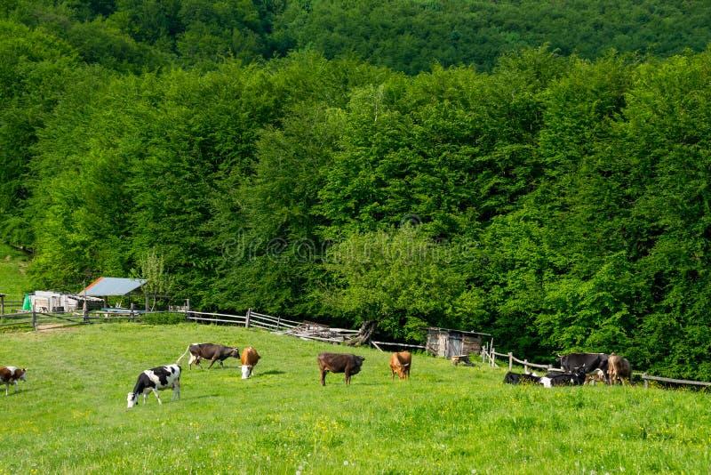 在农场的母牛 库存照片