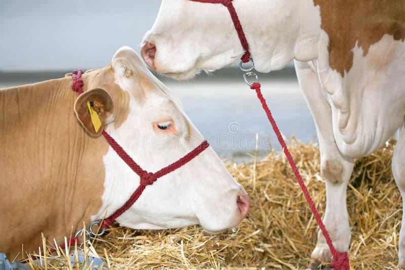 在农场的母牛 免版税库存图片