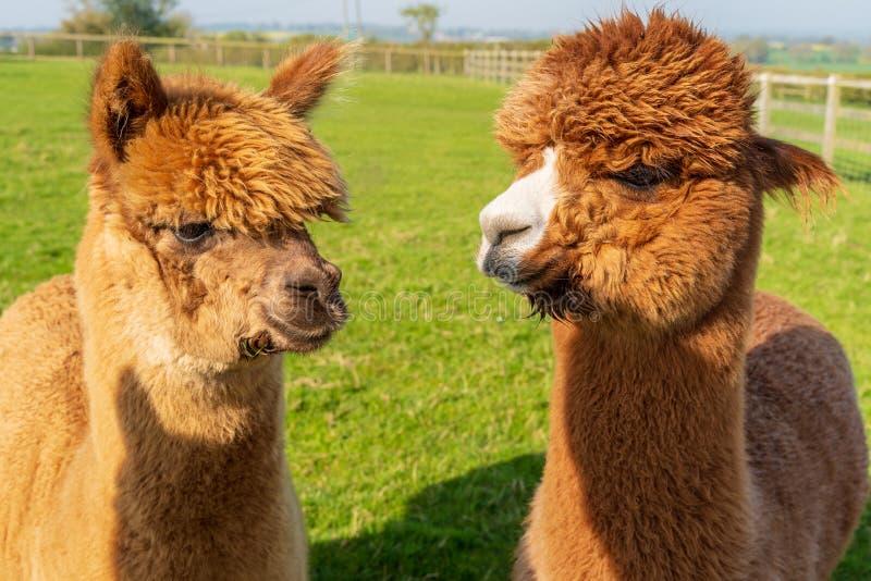 在农场的滑稽的看起来的棕色羊魄 免版税库存照片