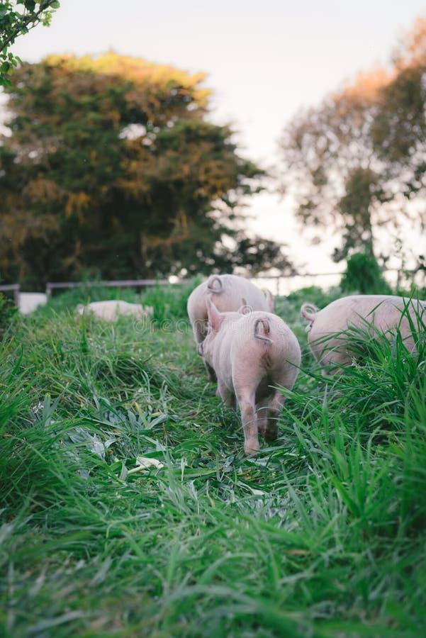 在农场的猪,有机,自由放养 发现的许多事! 免版税库存照片