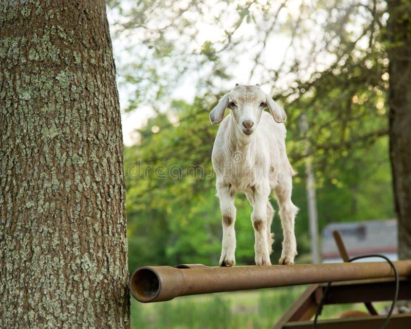 在农场的白色小山羊 免版税图库摄影