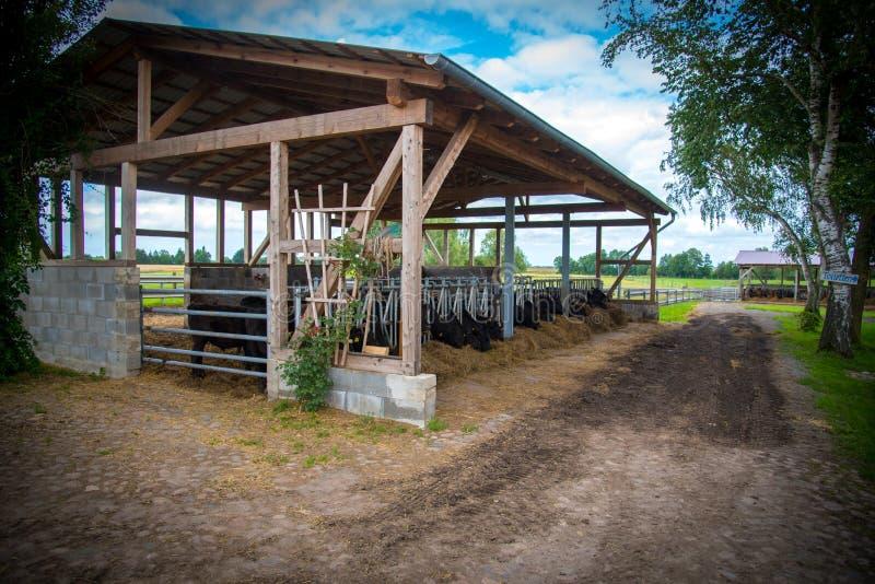 在农场的盖洛韦牛 免版税图库摄影