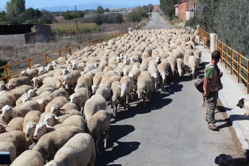 在农场的绵羊 动物,品种 黑色,肉 研,牧场地 库存图片