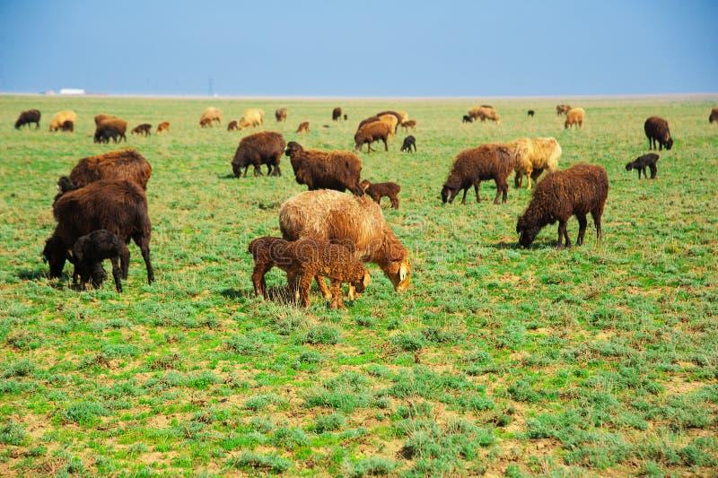 在农场的绵羊 免版税图库摄影