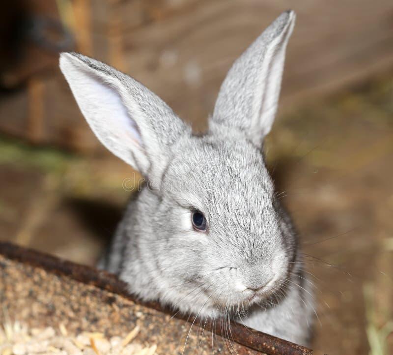 在农场的美丽的兔子 免版税库存照片