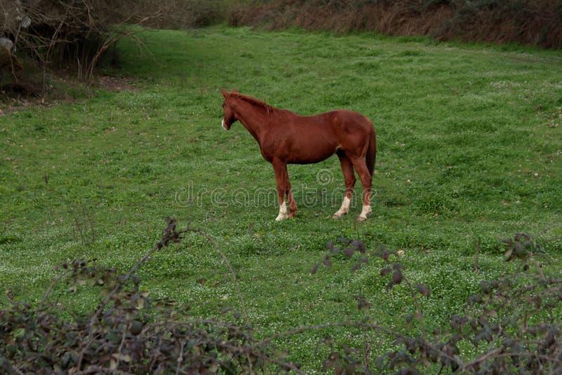 在农场的美丽的棕色马 免版税库存图片