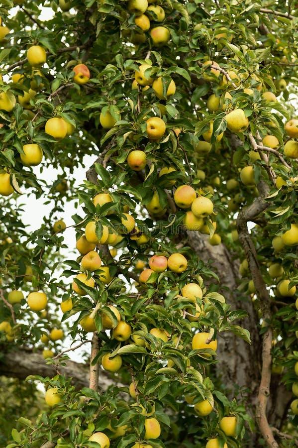 在农场的苹果 免版税库存图片