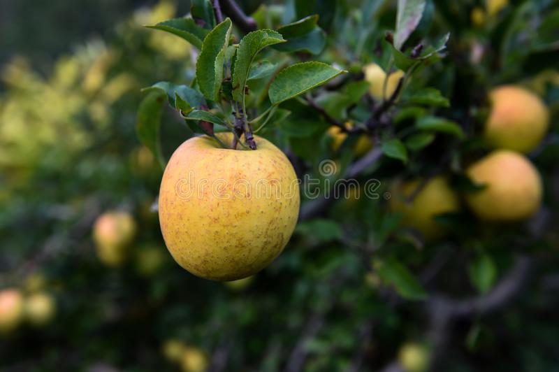 在农场的苹果 库存照片