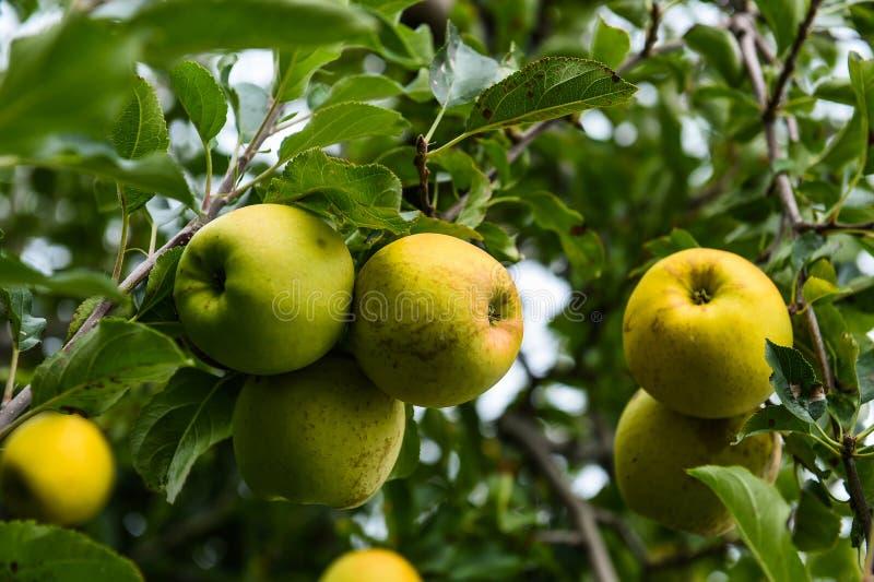 在农场的苹果 图库摄影