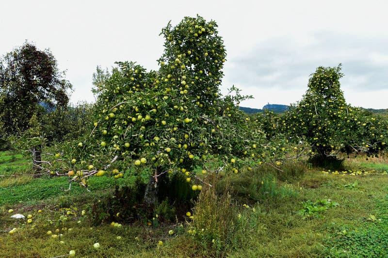 在农场的苹果 库存图片