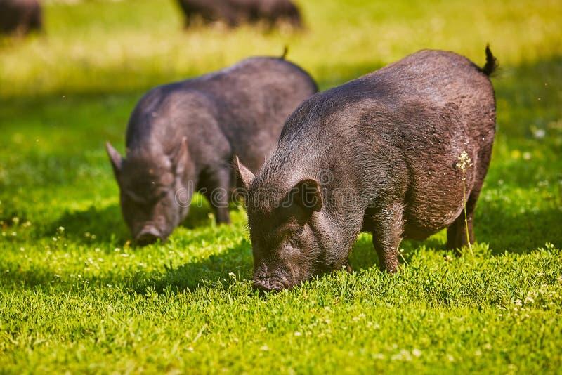 在农场的越南大肚子猪. 户外, 鼓起的.图片