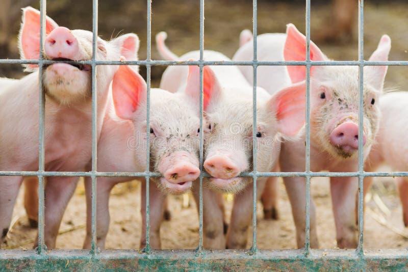 在农场的逗人喜爱的小猪 库存图片