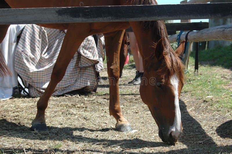 在农场的马吃草的 免版税库存照片