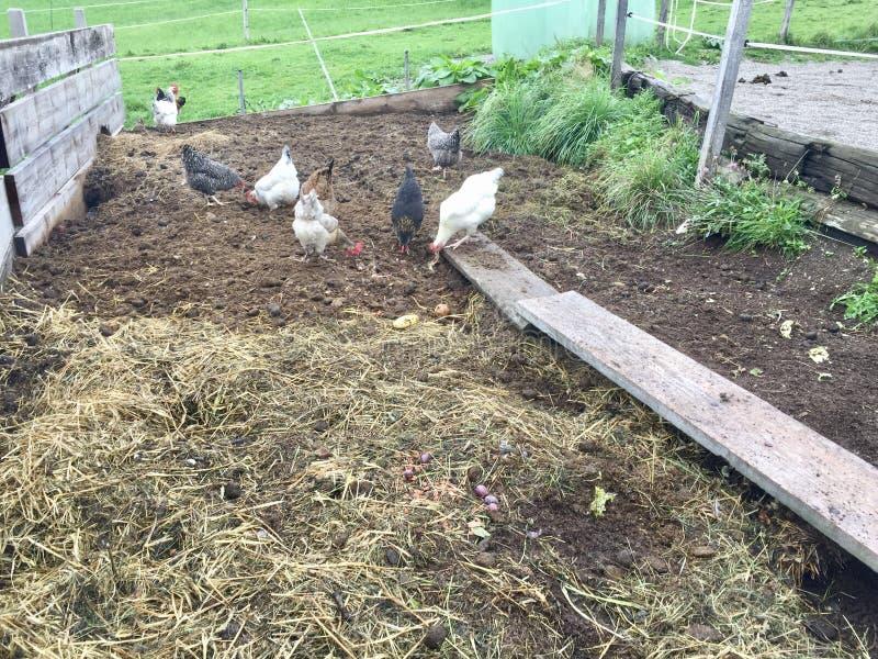 在农场的鸡汁流去 库存图片
