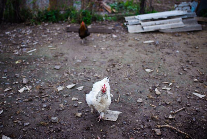 在农场的鸡 吃草在一个绿色草甸的母鸡 图库摄影