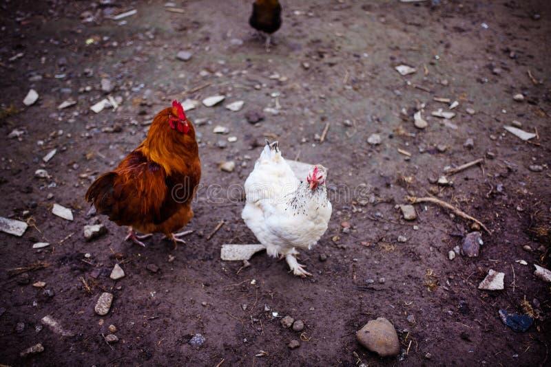 在农场的鸡 吃草在一个绿色草甸的母鸡 库存图片