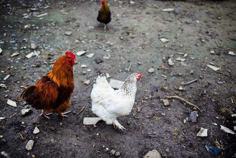 在农场的鸡 吃草在一个绿色草甸的母鸡 免版税库存照片