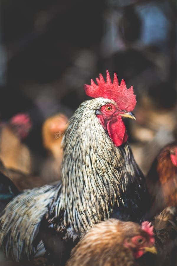 在农场的鸡 定调子,样式,彩色照片 图库摄影