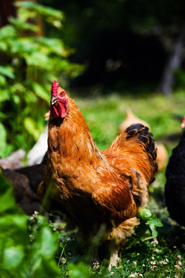在农场的鸡 免版税库存图片