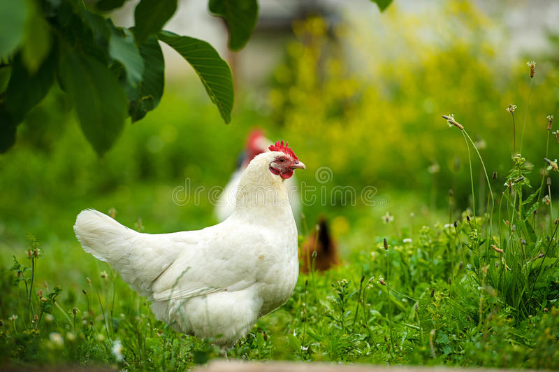 在农场的鸡 免版税库存照片