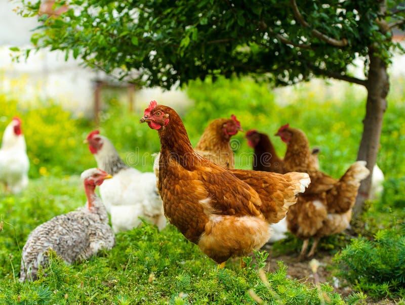 在农场的鸡 库存照片