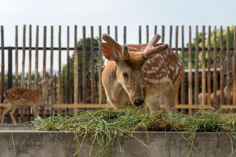 在农场的鹿 库存图片