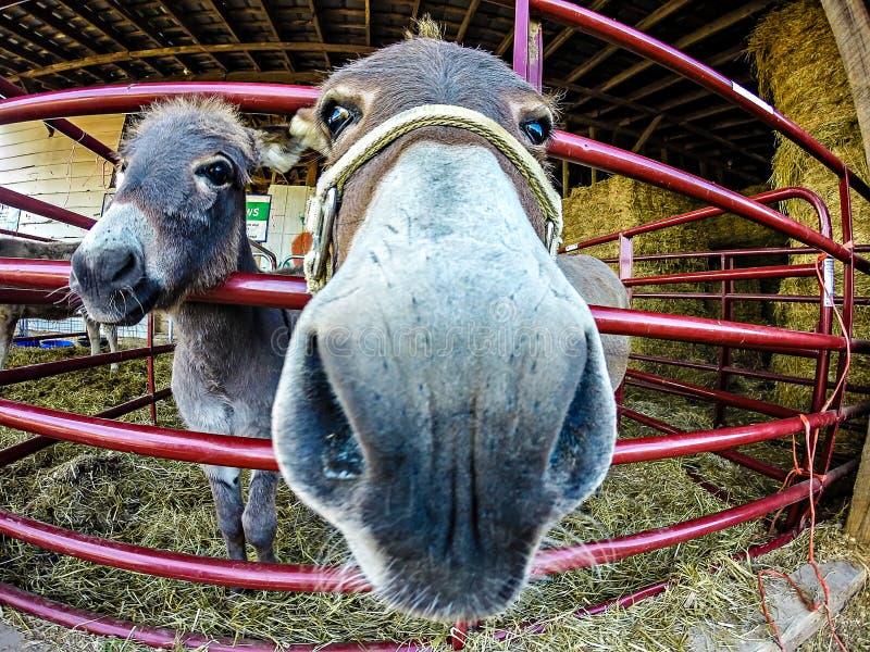 在农场的滑稽的驴 免版税库存图片