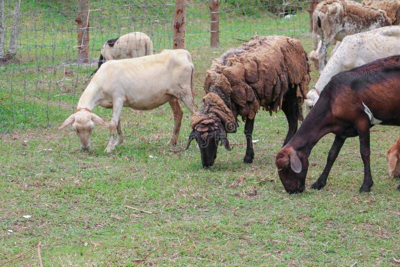 人和绵羊交配_图片 包括有 家畜, 敌意, 哺乳动物, 交配动物者, 食物, 绵羊
