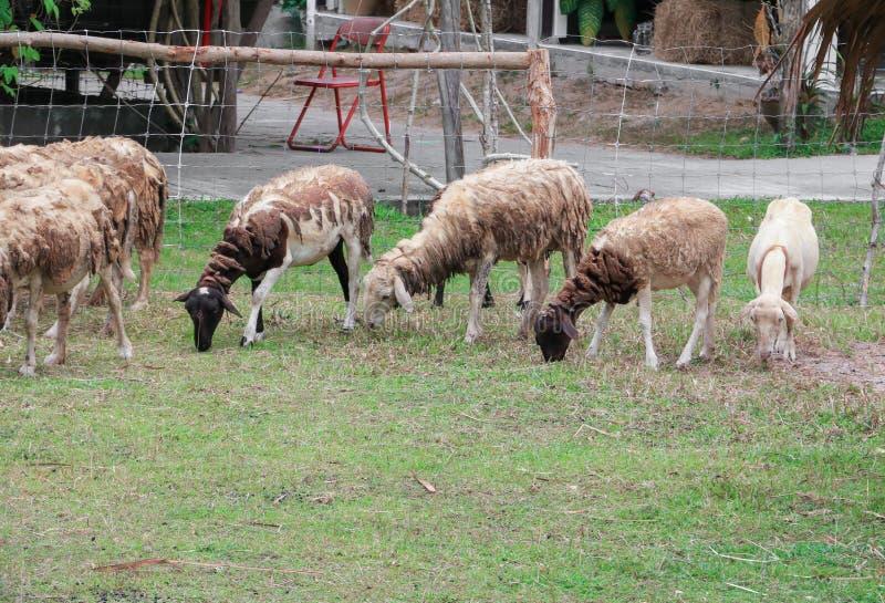 人和绵羊交配_图片 包括有 羊肉, 国家(地区), 农田, 交配动物者, 农场, 问题的