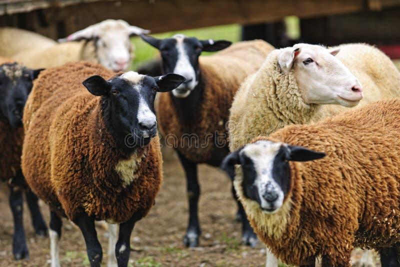 在农场的绵羊 库存照片