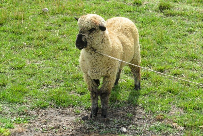 在农场的绵羊 库存图片