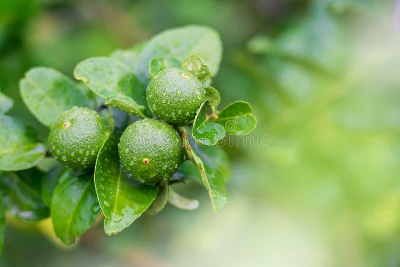 在农场雨后湿的树上特写绿色的柠檬 免版税库存照片
