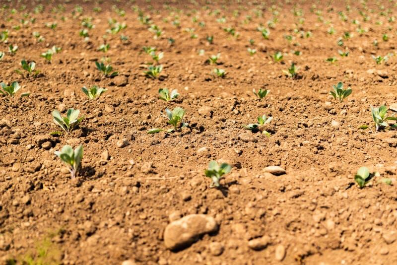 在农夫地面的嫩卷心菜幼木 免版税库存照片