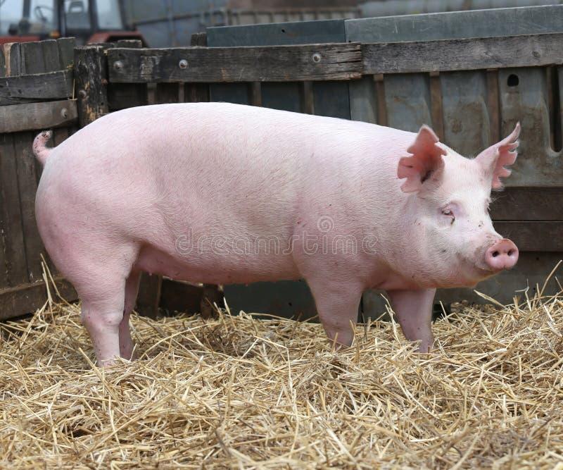 download 在农村动物农场的国内年轻猪母猪饲养 库存照片.图片