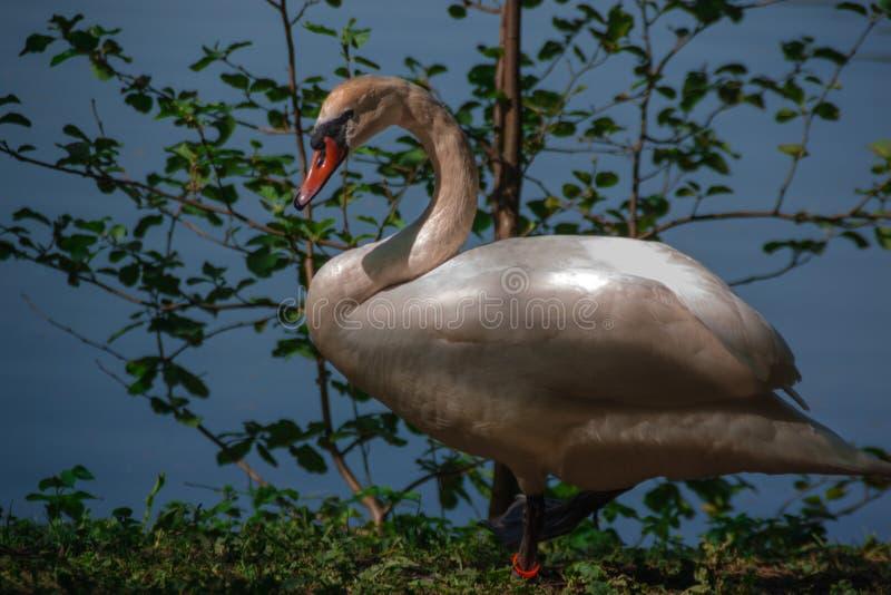 在农村池塘附近的白色天鹅用绿色树和草围拢的浅兰的水 ?????? 免版税库存图片