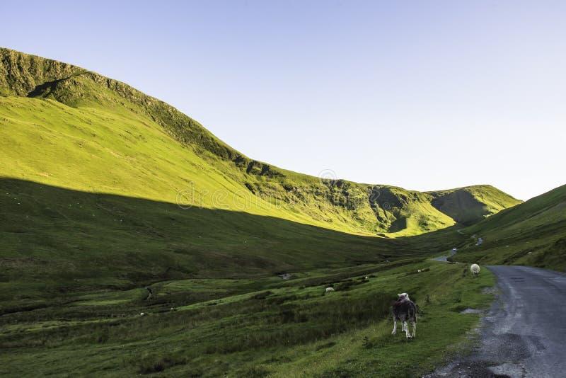 在农村路的动物在风景山谷,英国 图库摄影