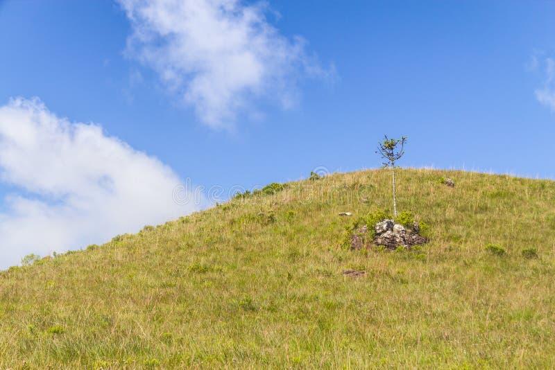 在农田和云彩的南洋杉 免版税库存图片