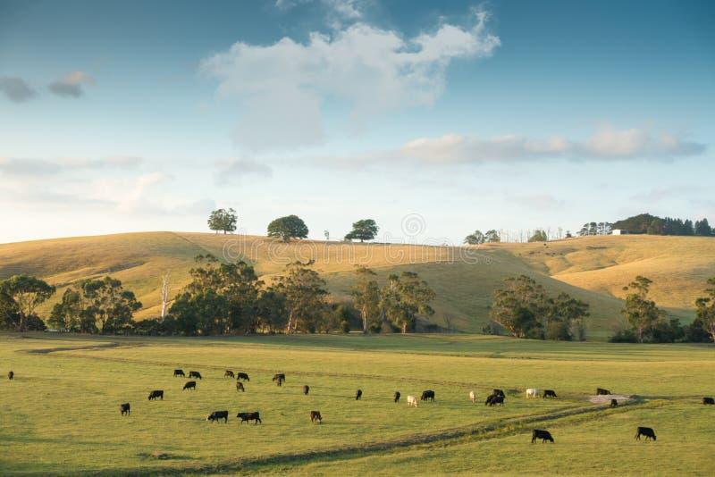 在农田的母牛在澳大利亚 库存图片