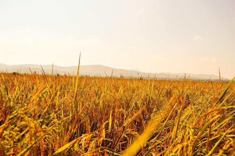 在农田的金黄稻 免版税图库摄影