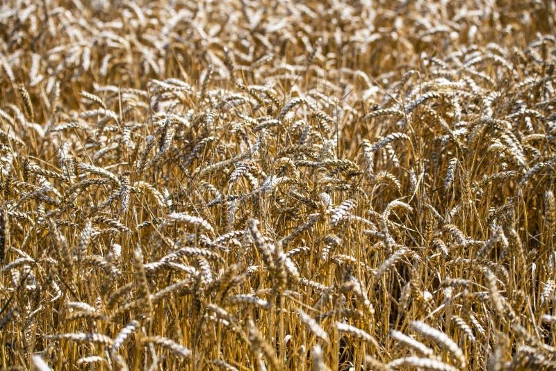在农田的麦子庄稼 库存图片